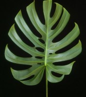 Monstera_deliciosa_costeladeadao